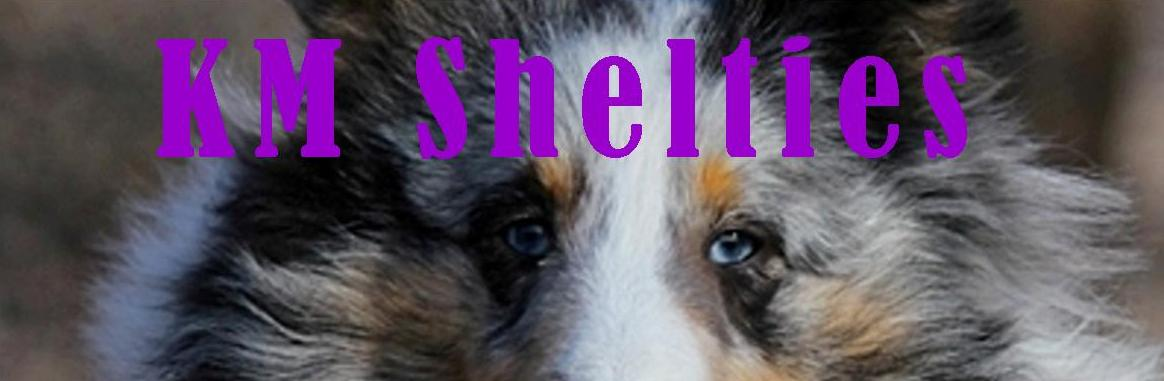 KM Shelties dogs for sale, Shelties eyes
